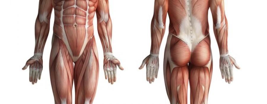 Sabes cual es el musculo mas grande del cuerpo? Comprar España ...
